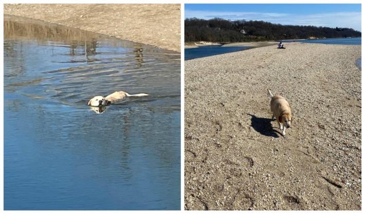 Labrador Retriever swimming at the beach
